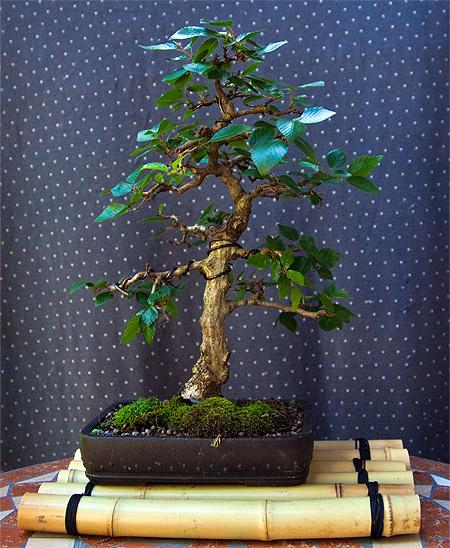 koreanische hainbuche bonsai arboretum kusamono und ikebana
