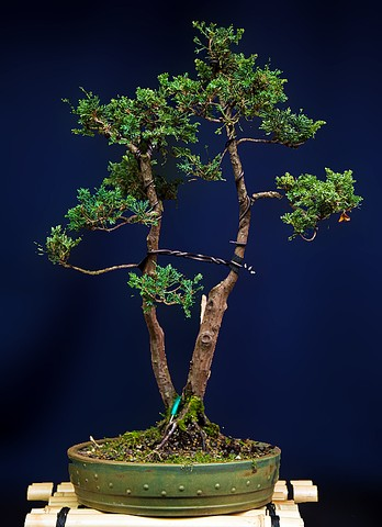 gemeiner wacholder bonsai arboretum kusamono und ikebana